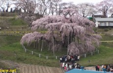 1000 Year Old Cherry Blossom Tree in Japan – Miharu Takizakura 三春瀧桜