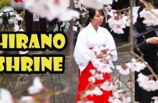 Cherry Blossoms at Hirano Shrine Kyoto Japan