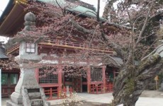 Cherry Blossoms at Shiogama Shrine in Japan