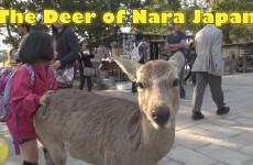 Deer of Nara (Scenic Shots)