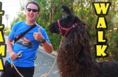 Llama Walk at ShangriLlama